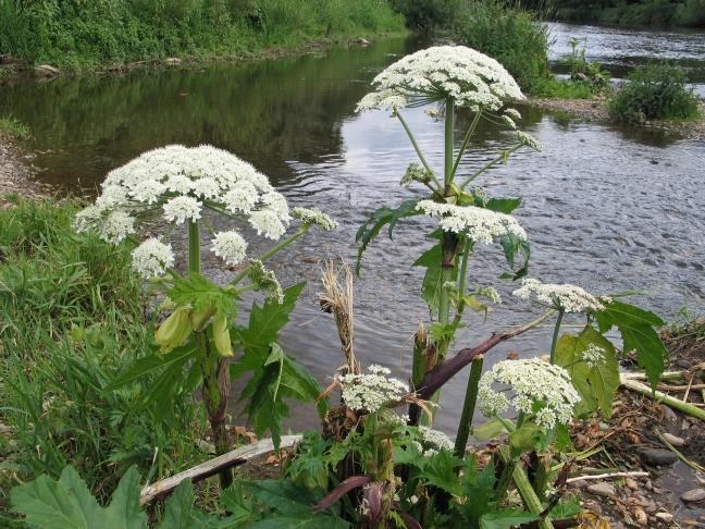 Blütenstand der Herkules-Staude an der Rur bei Jülich: Ihre Giftstoffe können bei Sonneneinstrahlung gefährliche Hautverletzungen hervorrufen.
